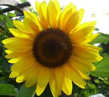 Helianthus annuus Titan Sonnenblume Titan Samen Riesensonnenblume