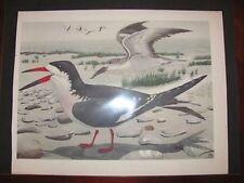 Original   Rex Brasher #80  Hand Colored Bird Print Black Skimmer #80REX2   DSS