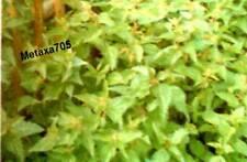 Graines ortie ( bio )