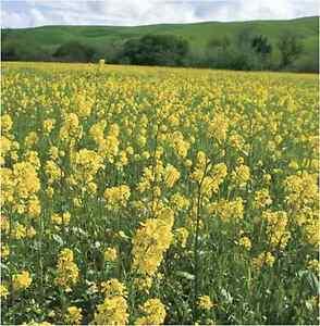 400gms Green Manure Seeds - White Mustard seed