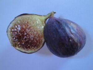 KASTANOSIKA -Greek Variety (2 fresh cuttings)