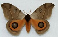 SATURNIIDAE - silkmoth - Augenspinner - AUTOMERIS CORESUS   -  male