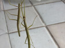 Oeuf de phasme bâton (carausius morosus) Lot de 20