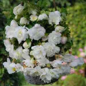 5 Begonia White Trailing Pendula Summer Hanging Basket Garden Bulbs Corms Tubers