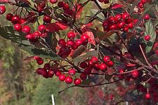 Brilliant Red Chokeberry - Aronia Arbutifolia Brilliantissima - 25 seeds - Shrub
