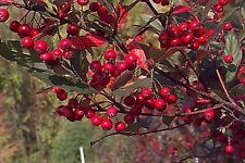 Brilliant Red Chokeberry - Aronia Arbutifolia Brilliantissima - 25 seeds - Shrub