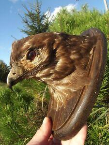 Buzzard head Bird taxidermy pre 1941