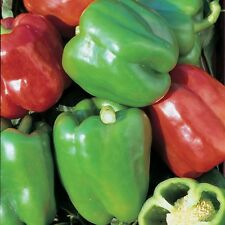 Kings Seeds-PEPE (dolce) Misto - 100 semi