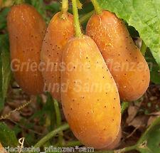 Himangi Gurke aus Indien* knackige Salat-Gurken*5 Samen