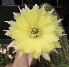 Ferienpreis: Echinopsis Chamaecereus Hybride Gelber Franz