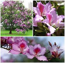 10 semillas de Bauhinia variegata , Phanera variegata, árbol de orquídea,seeds S
