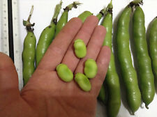 12 Fava Bean Seeds - Vicia Faba - SWEET VARIETY from MALTA - See Photos