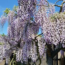 Wisteria Hardy Climbing Garden Shrub Plant Prolific in 2 Litre Nursery Pots T&M