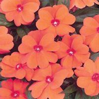 Impatiens- Walleriana Baby -Orange- 50 Seeds- BOGO 50% off SALE