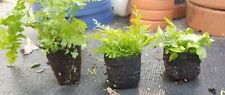 Multi Variety Fern 3 Pack rabbits foot limpleaf and Nicholas diamond live plants