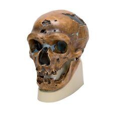 Enmarcado impresión-Homo neanderthalensis cráneo (Antropología animal humano Foto)