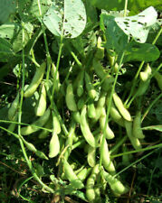 Midori Giant Japanese Edamame Soy Bean Seeds | USA Chinese Asian Vegetable 2021