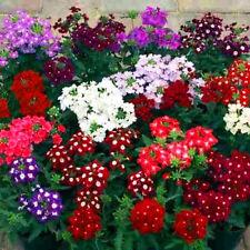 100 Pcs Verbena Seeds Bonsai Plant Tree House Herb Garden Flower Pot Decor