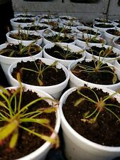 4 Live Drosera Capensis Cape Sundew Typical Carnivorous Plants from Seed