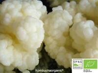 10g Certified Organic Live Milk Kefir Grains Tibetan Starter by Kombuchaorganic®