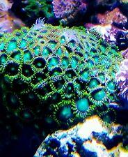 Live Coral - WYSIWYG Radioactive Dragon Eye Zoas (Zoanthid)