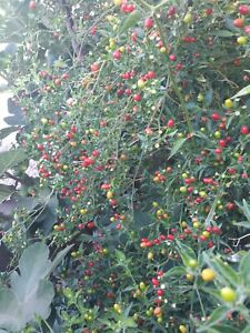 60+Mix Seeds of Pequin  Piquin and Chiltepin Tepin  chili Pepper US Grower