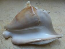 Tricornis Strombus F++++ Seashell Conch Queen shell 151.5 mm colourful red sea