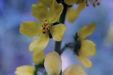 Kleiner Odermennig, Agrimonia eupatoria #738