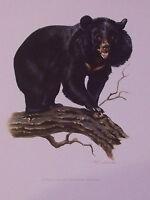 Impression Affiche Histoire Naturelle l'Ours à Collier Selenarcos thibetanus