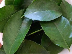 100 HOJAS DE LIMON AMARILLO ORGANICAS FRESCAS-100 FRESH ORGANIC LEMON LEAVES