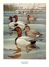 """1957 Vintage FRANCIS LEE JAQUES """"CANVASBACK DUCK"""" Color HUNTING Art Lithograph"""