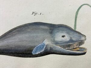 1780 Martinet - Baleen Cachelot Narwal WHALES hand coloured Large Folio 37.5 cm