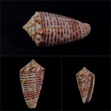 Conus proximus cebuensis, Cebu, Philippines, 34,5 mm, DELICIOUS