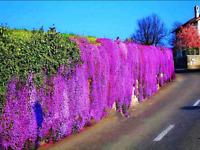 Rock Cress 100 Pcs Seeds Bonsai PERENNIAL FLOWERING GROUNDCOVER Plants Garden V