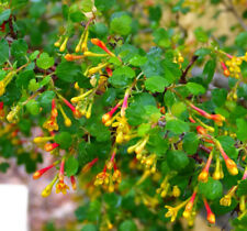 Ribes aureum var gracillimum Golden Currant 10 seeds
