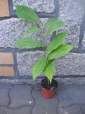 Asimina triloba Pawpaw Indianerbanane 1 Pflanze  (mind. 30 cm, 2 jährig)
