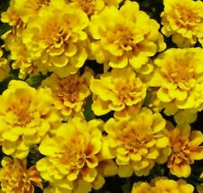 Studentenblume Tagetes Yellow Boy einjährig Höhe 20 cm Samen