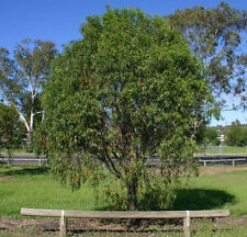 Gumby Gumby (Pittosporum phylliraeoides) - 30 Seeds Drought & frost hardy