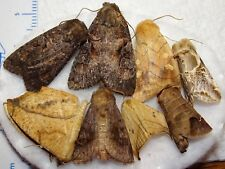 Unidentifed Moth Species Michigan MI-03(#27) Noctuid Geometrid Insect Collection