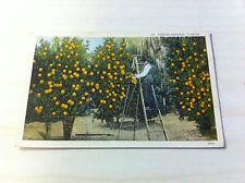 Vintage Farmer Worker Farmhand Picking Oranges Tree Grove Florida Postcard old