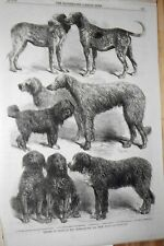 Show Dog Winners: French Hounds,Harrier, Retrivers, Barbets:1860'S Harrison Weir