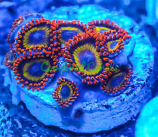 Cornbred's Fruit Loops Zoas - 1 Polyp - Frag - Live Coral