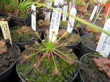 Drosera intermedia Gran Sabana 20 Semi Freschi Raro ibrido carnivore