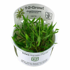 Tropica In Vitro 1-2-grow! Cryptocoryne wendtii 'Green' Aquarium Live Plant Shri