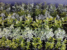 10 X EUONYMUS Mixed Evergreen Shrubs 8cm Pots