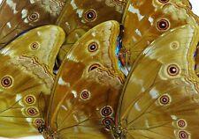 Morpho godarti didius Männchen 10 x UP