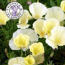 Raro eschscholzia Californica, Blanco California Poppy, Flor - 20 Semillas-Uk
