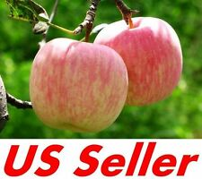 15 Pcs Seeds of Fuji Apple Tree E56, Fruit Fu Ji Apple Seeds