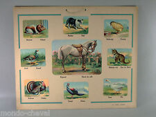 RARE ! CARTE SCOLAIRE français-néerlandais, animaux , cheval, années 50