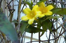 Yellow Flowered Jasmine Carolina Vine Over 10 Seeds for You to Grow